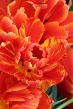 Preview iPhone wallpaper Orange petals tulips, Holland