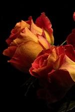 Orange roses, bouquet, black background