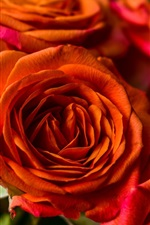 Preview iPhone wallpaper Orange roses, petals