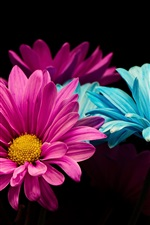Preview iPhone wallpaper Pink and blue petals daisy, black background