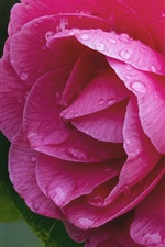 Preview iPhone wallpaper Pink camellia, macro photography, water drops
