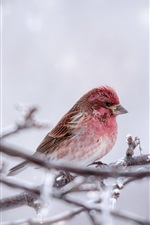 Preview iPhone wallpaper Pink feather bird, twigs, ice, winter