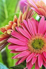 Preview iPhone wallpaper Pink gerbera flowers, green leaves