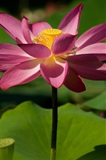 Preview iPhone wallpaper Pink lotus, leaves, summer