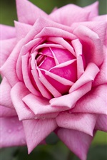 iPhone fondos de pantalla Rosa rosa, pétalos, gotas de agua
