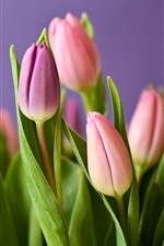 Preview iPhone wallpaper Pink tulips, bouquet, purple background