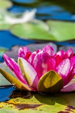 Preview iPhone wallpaper Pink water lily, flowers, leaves, pond, summer