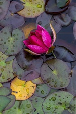 Preview iPhone wallpaper Pink water lily, flowers, leaves, water drops, after rain