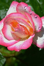 Preview iPhone wallpaper Pink-white petals rose, water drops