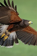 Preview iPhone wallpaper Predator, eagle, wings, green background