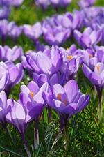 Preview iPhone wallpaper Purple crocuses bloom, spring