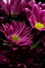 Purple daisy, black background