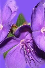 iPhone fondos de pantalla Flores púrpuras, fondo púrpura