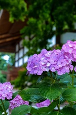 Preview iPhone wallpaper Purple hydrangea, water drops, garden
