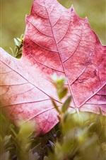 Purple maple leaf, grass
