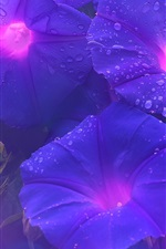 Preview iPhone wallpaper Purple morning glory, flowers, water drops