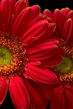 Preview iPhone wallpaper Red gerbera flowers, black background