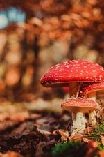 Red mushrooms, amanita, trees, autumn