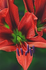 Preview iPhone wallpaper Red petals lily, flower macro photography