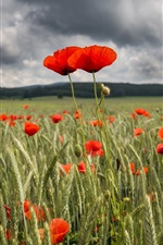 Preview iPhone wallpaper Red poppy flowers field, summer