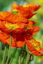 Red poppy flowers, summer