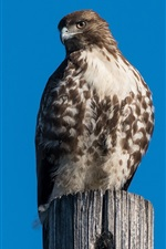 Preview iPhone wallpaper Red-tailed buzzard, eagle, blue sky, stump