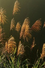 Preview iPhone wallpaper Reeds, spikelets, plants