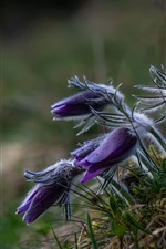 Preview iPhone wallpaper Sleep-grass, purple flowers, spring