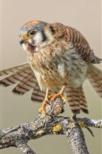 Preview iPhone wallpaper Sparrow kestrel, birds