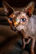 Preview iPhone wallpaper Sphynx cat, blue eyes, bokeh