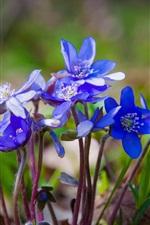 iPhone壁紙のプレビュー 春、青い花