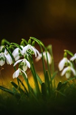 Preview iPhone wallpaper Spring flowers, snowdrops, bokeh