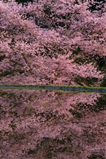 Spring pink flowers, tree, pond, water reflection, night