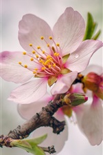Preview iPhone wallpaper Spring, pink peach flowers bloom, twigs
