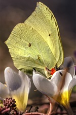 Preview iPhone wallpaper Spring, white crocuses, yellow butterfly