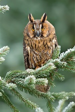 Preview iPhone wallpaper Spruce twigs, owl