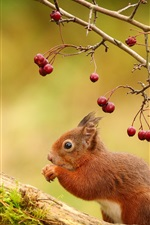 Preview iPhone wallpaper Squirrel, red berries