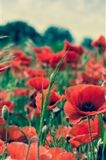 Preview iPhone wallpaper Summer flowers, red poppy
