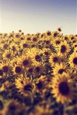 Preview iPhone wallpaper Summer, sunflowers, sunshine