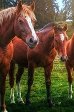 Preview iPhone wallpaper Three brown horses, grass