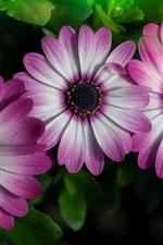 Preview iPhone wallpaper Three osteospermum flowers, pink-white petals