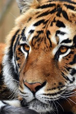 Preview iPhone wallpaper Tiger rest, look, face, paws