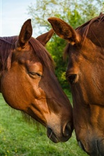 Preview iPhone wallpaper Two brown horses, friendship