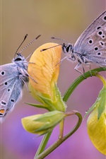 Preview iPhone wallpaper Two butterflies, yellow flower