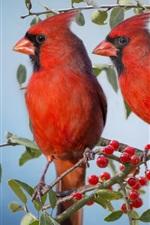Dois cardeais pássaros, bagas vermelhas, galhos
