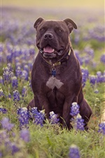 Preview iPhone wallpaper Two dogs, meadow, blue lupine flowers