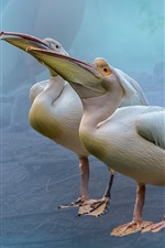 Preview iPhone wallpaper Two pelicans, birds