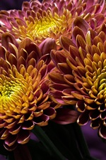 Preview iPhone wallpaper Two-tone petals chrysanthemum, yellow and purple