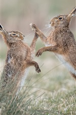 Preview iPhone wallpaper Two wild rabbits play games, grass
