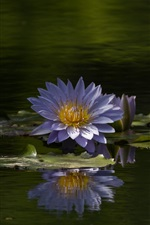 Preview iPhone wallpaper Water lily, blue flowers, summer